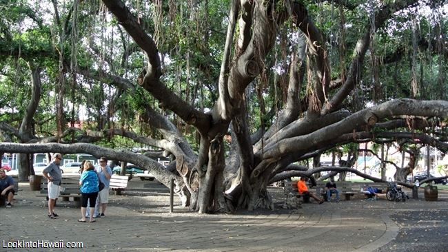 Image result for free stock photos giant banyan tree maui